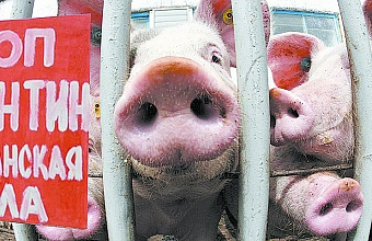 African Swine Fever Again Threatens Kuban