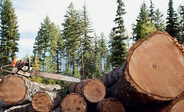Protected Forests Are Felled in Kuban